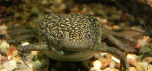 (Fonte: https://it.wikipedia.org/wiki/Xenopus_laevis)